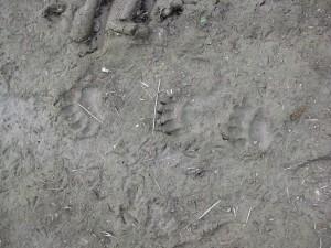 Karhunjäljet